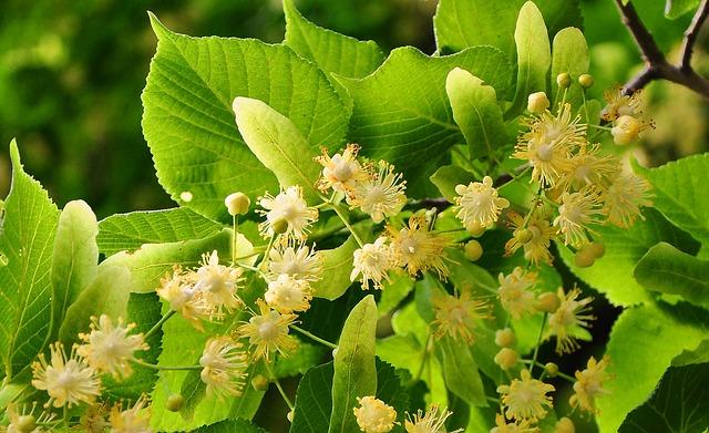 květy lípy