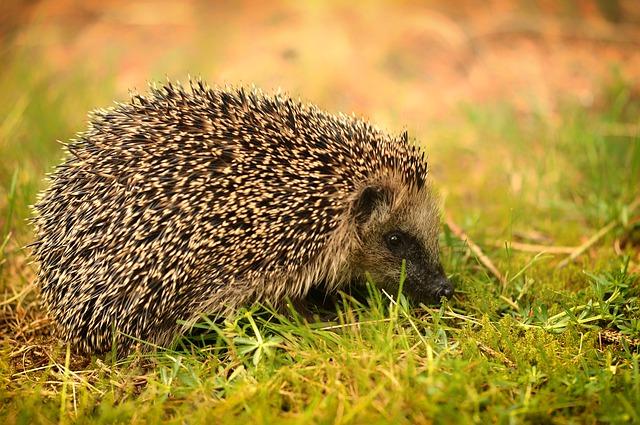 ježek v trávě