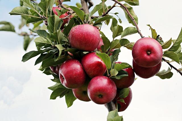 červená jablka.jpg