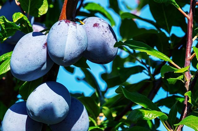 švestky na stromě.jpg